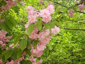 枝头盛开的樱花