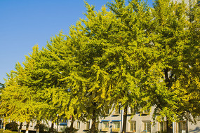 蓝天一排银杏树