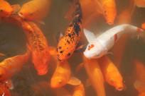 湘湖碧水中锦鲤寻找食物