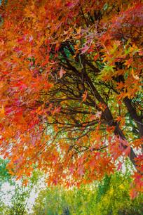 一树红叶与绿色叶子