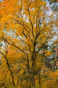 一树金色枫叶