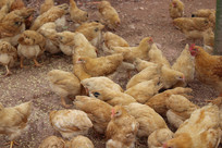 正在吃食物的鸡