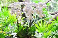 白色蝴蝶兰花草图片