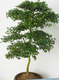 粗壮的菊花盆栽图片