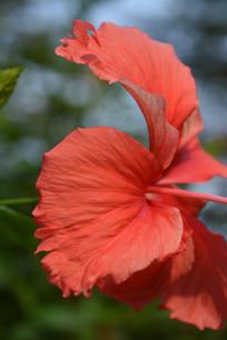 大红花花瓣近拍特写图