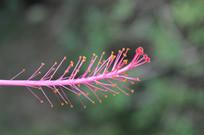 高清粉色朱槿花蕊大图
