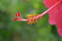 高清岭南大红花花蕊图片