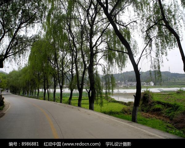 公路边的柳树图片