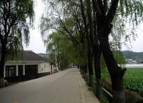 公路边的柳树