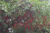 挂满红丝带的祈愿树