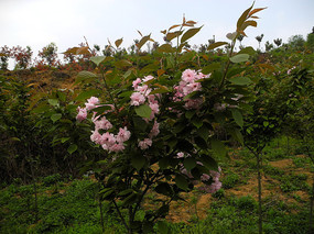 果园里的樱花
