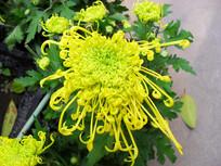 黄色的菊花高清图