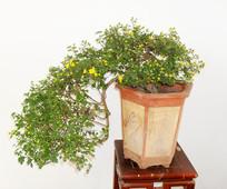 花盆中的菊花图片