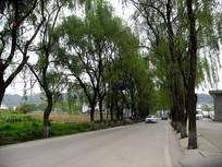 两边都有柳树的公路