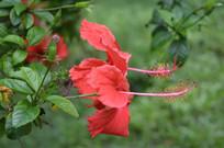 两朵中国岭南大红花