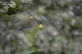 兩個小小的山油柑果
