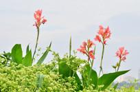 美人蕉花草风景