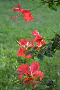 四朵大红花
