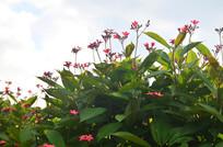 小红花风景