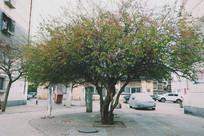 小区里的老树