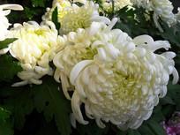 阳光里的白色菊花