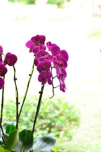 一株蝴蝶兰花卉图片