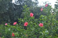 中国岭南大红花灌木