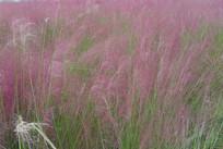 紫色的草丛背景图片