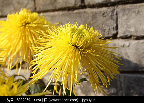 背景墙前的黄菊花图片