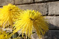 背景墙前的黄菊花