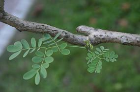 凤凰木枝干及绿叶
