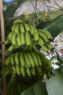 公园里的一串大香蕉
