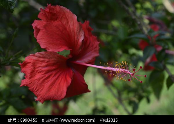 花冠漏斗形的大红花图片