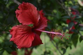 花冠漏斗形的大红花