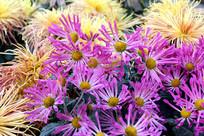 黄菊和紫菊