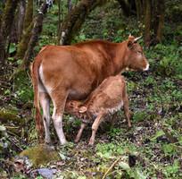 黄牛妈妈和吃奶的小牛