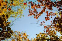 蓝天彩色叶子