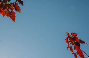 蓝天红色枫叶