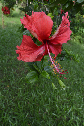 美化花卉大红花