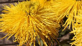 美丽盛开的菊花