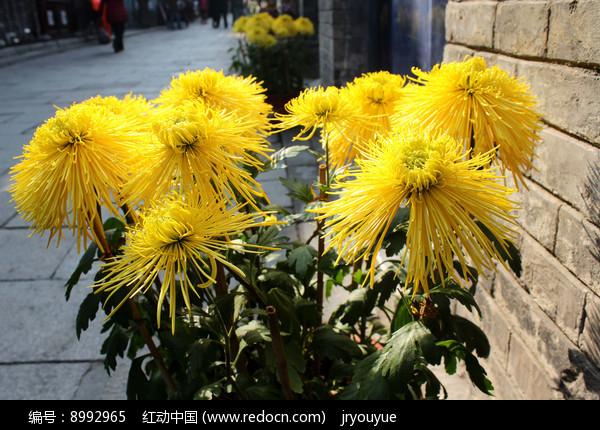 盆栽菊花图片