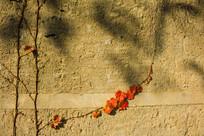 墙壁上的爬墙虎与暗影