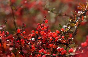 秋天的红色野果