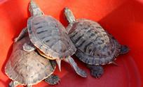 三只大乌龟