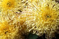 盛开的菊花