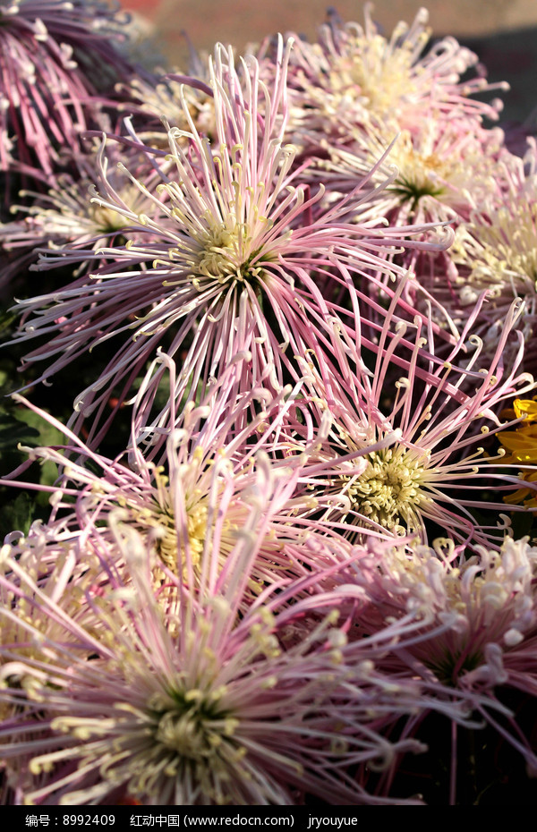 细丝状菊花图片