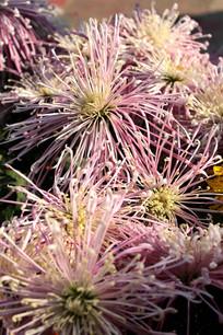 细丝状菊花
