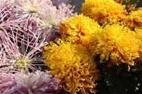 细丝状菊花和黄菊