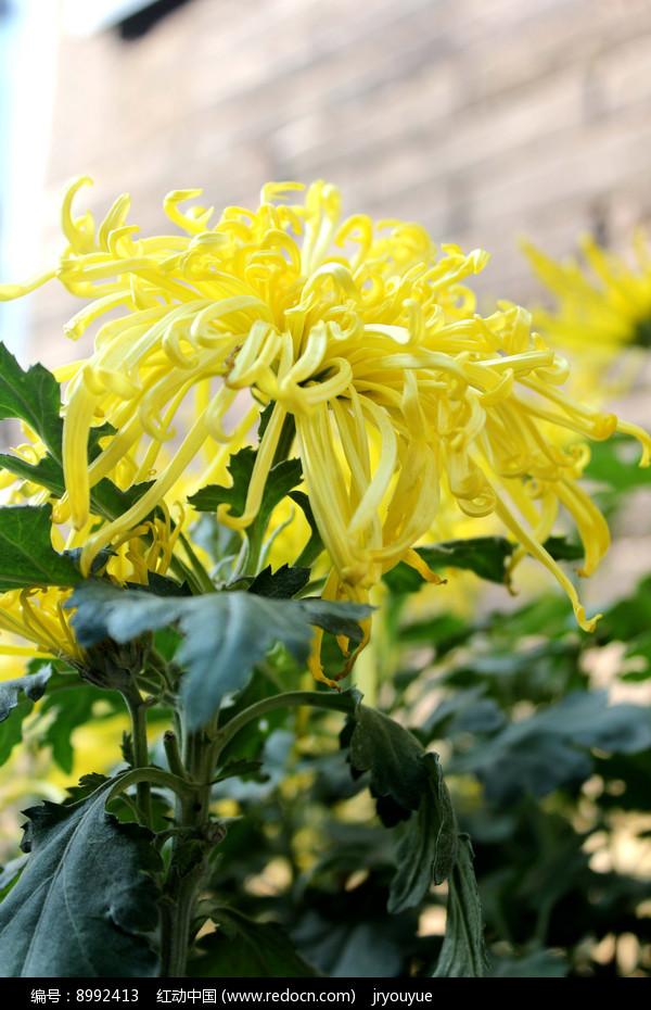 一朵黄菊花图片