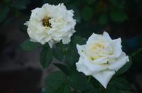白玫瑰鲜花